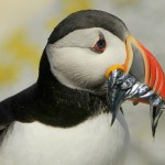 Atlantic Puffin, Machias Island - USA (9049)