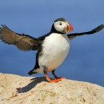 Atlantic Puffin, Machias Island - USA (9069)