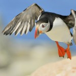 Atlantic Puffin, Machias Island - USA (9302)