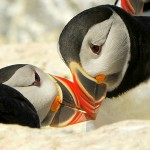 Atlantic Puffin, Machias Island - USA (9699)