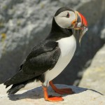 Atlantic Puffin, Machias Island - USA (9950)