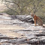 Tiger, Ranthambore National Park - India (7377)