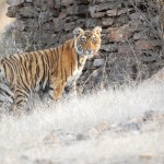 Tiger, Ranthambore National Park - India (7434)