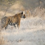 Tiger, Ranthambore National Park - India (7449)