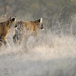 Tiger, Ranthambore National Park - India (7486)