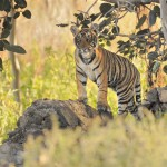 Tiger, Ranthambore National Park - India (7587)