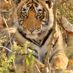 Tiger, Ranthambore National Park - India (7629)