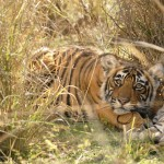 Tiger, Ranthambore National Park - India (7738)