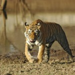 Tiger, Ranthambore National Park - India (7820)