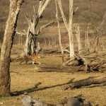 Tiger, Ranthambore National Park - India (7844)