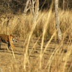 Tiger, Ranthambore National Park - India (7858)
