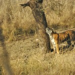 Tiger, Ranthambore National Park - India (7910)