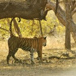 Tiger, Ranthambore National Park - India (7950)
