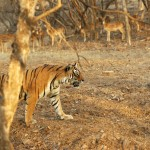 Tiger, Ranthambore National Park - India (7988)