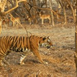 Tiger, Ranthambore National Park - India (7990)