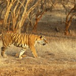 Tiger, Ranthambore National Park - India (7991)