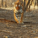 Tiger, Ranthambore National Park - India (8009)