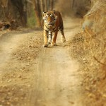 Tiger, Ranthambore National Park - India (8036)