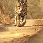 Tiger, Ranthambore National Park - India (8173)