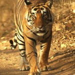 Tiger, Ranthambore National Park - India (8249)