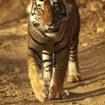 Tiger, Ranthambore National Park - India (8253)