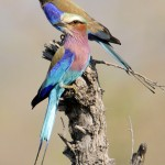 Lilac-breasted Roller, Khwai Community Area - Botswana (6448)