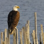 Bald Eagle, Blackwater NWR - USA (7010)
