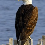 Bald Eagle, Blackwater NWR - USA (7028)