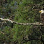 Bald Eagle, Blackwater NWR - USA (7743)
