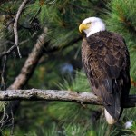 Bald Eagle, Blackwater NWR - USA (7752)