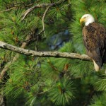 Bald Eagle, Blackwater NWR - USA (7764)