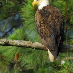 Bald Eagle, Blackwater NWR - USA (7765)