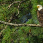 Bald Eagle, Blackwater NWR - USA (7782)