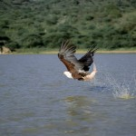 Fish Eagle, Lake Baringo - Kenya (02)