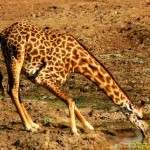 Thornicroft Giraffe, South Luangwa NP - Zambia (6116)