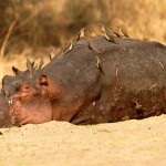 Hippo, South Luangwa National Park - Zambia (2692)
