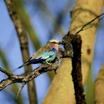 Lilac-breasted Roller, Lake Nakuru NP - Kenya (05)