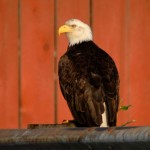 Bald Eagle, St. Petersburg (Alaska) - USA (02)