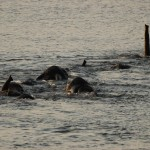 Elephants crossing River, Chobe NP (Waterfront) - Botswana (79)
