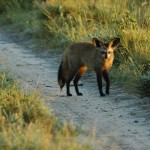 Bat-eared Fox, Central Kalahari GR - Botswana (0580)