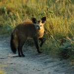 Bat-eared Fox, Central Kalahari GR - Botswana (0594)