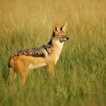Black-backed Jackal, Central Kalahari GR - Botswana (1939)