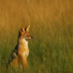 Black-backed Jackal, Central Kalahari GR - Botswana (1987)