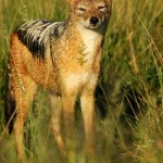 Black-backed Jackal, Central Kalahari GR - Botswana (2089)