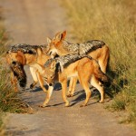 Black-backed Jackal, Central Kalahari GR - Botswana (2266)