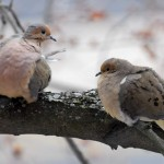 Mourning Dove, Silver Spring, MD - USA (0393)