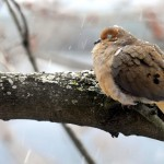 Mourning Dove, Silver Spring, MD - USA (0404)