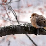Mourning Dove, Silver Spring, MD - USA (0412)