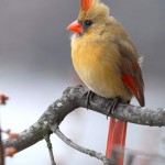 Cardinal (female), Silver Spring - USA (2031)