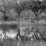 Tree Reflection, Kwai Community Area - Botswana (3115)